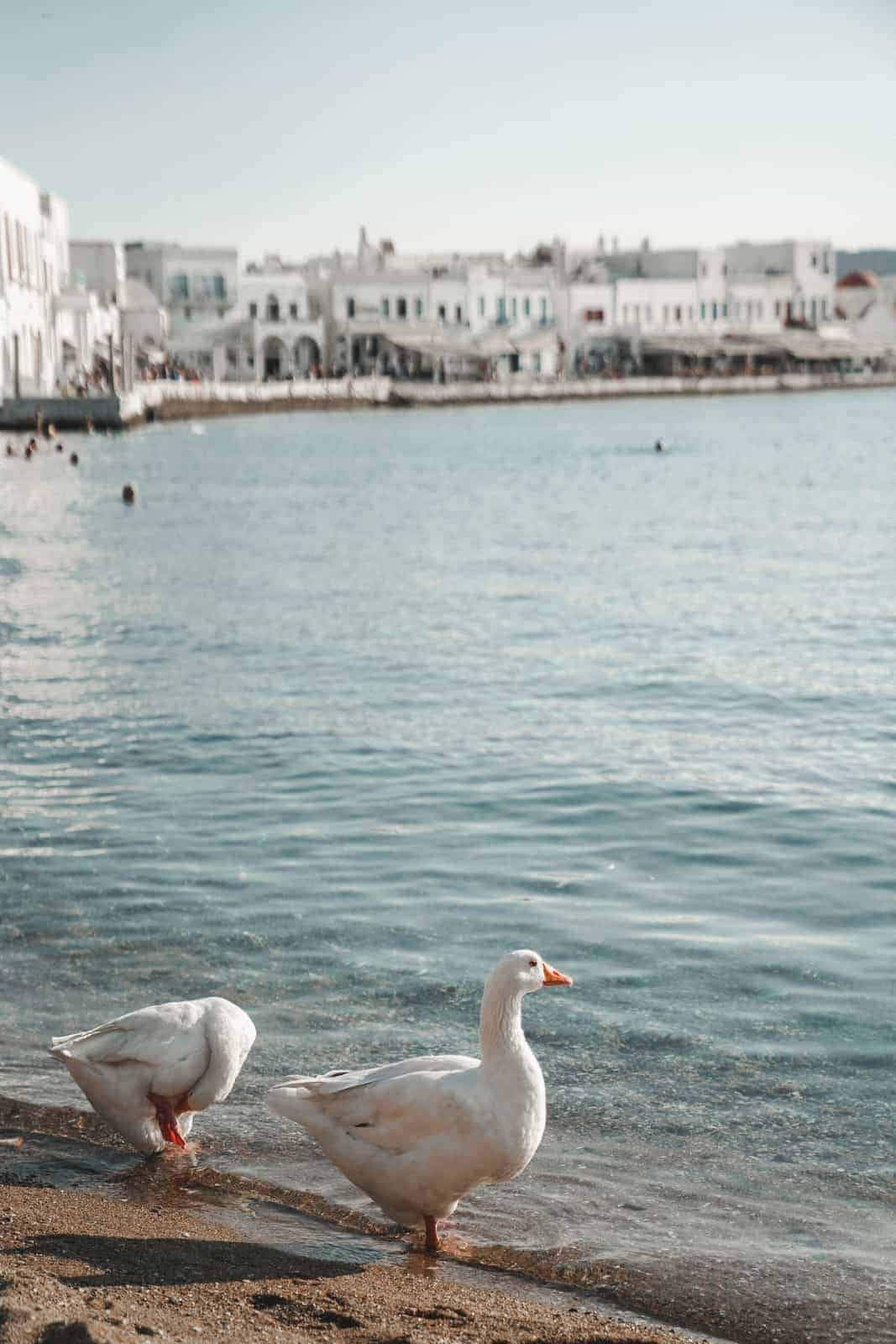 Ducks at waters edge in Mykonos, Greece taken by Maria who is giving her international travel tips.